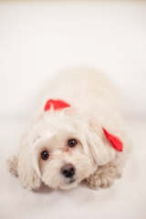 cute white dog in red bow